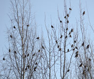 Group of waxwings sits on a tree Royalty Free Stock Photo