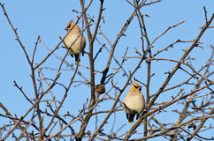 Group of waxwings sits on a tree Royalty Free Stock Photography