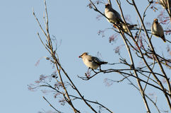 Group of waxwings sits on a tree Royalty Free Stock Images