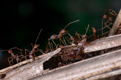 A group of Weaver Ant Stock Image