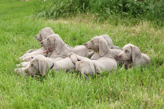 Group of Weimaraner Vorsterhund puppies lying Royalty Free Stock Images