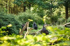 Western lowland gorillas. The group of Western lowland gorillas in the zoo stock images