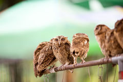 Group of Western Screech Owl Royalty Free Stock Image