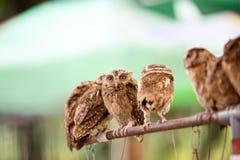 Group of Western Screech Owl. Group of small screech owl Megascops kennicottii Royalty Free Stock Image