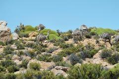 Group of whea pennata pennata (american ostrich) Stock Image