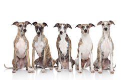 Group of whippets sits on a white background Stock Photography