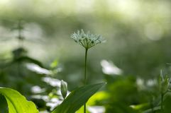 Group of white allium ursinum herbaceous flowers and leaves blurry background in hornbeam forest, beautiful and healthy herb. Group of white allium ursinum stock photography