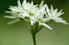 Group of white allium ursinum herbaceous flowers and leaves blurry background in hornbeam forest, beautiful and healthy herb. Group of white allium ursinum royalty free stock photography