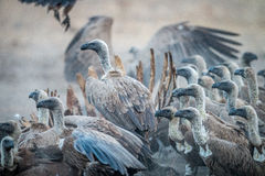 A group of White-backed vultures on a carcass. Royalty Free Stock Photos