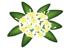A Group of White Beauty Plumeria Frangipanis Stock Photo