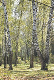 A group of white birch trees with yellow foliage in the morning Stock Photos
