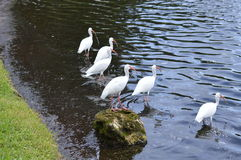 Group of white birds lakeside. stock photo