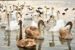 Group of white and broun young swans. On the lake stock images