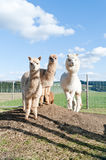Group of white and brown Alpacas Royalty Free Stock Photography
