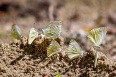 Group of white butterflies on the ground Stock Photo