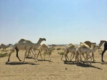 Camel migration royalty free stock photography