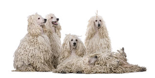 Group of White Corded standard Poodles Stock Photography