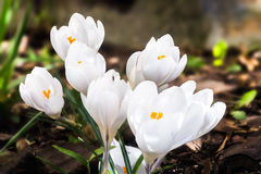 Group of white crocus Royalty Free Stock Photos