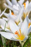 Group of white crocuses Royalty Free Stock Photography