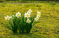 Group of white daffodils in bloom, popular dutch flowers for the garden. A group of white daffodils in bloom, popular dutch flowers for the garden stock photography