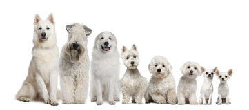 Group of white dogs sitting Stock Photos