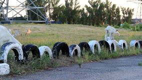 Herd of goats moves to pasture. A group of white, domestic goats is moving towards the pasture and passes by the car tires buried in the ground stock video