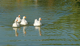 Group of white domestic goose in pond Royalty Free Stock Images