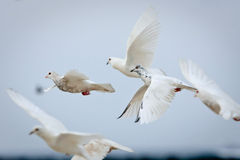 Group of white doves in flight. Group of white and speckled doves in flight Royalty Free Stock Photography