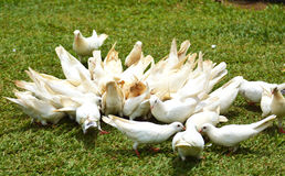 A group of white doves on the ground. Group of white doves eating on the ground Stock Images