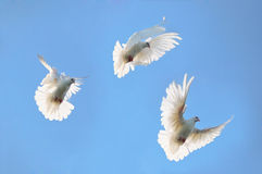 Group white doves in the sky Stock Images