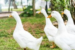 A group of white ducks in a park, outdoor stock image