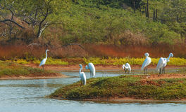 Group of white egrets in the c Royalty Free Stock Photo