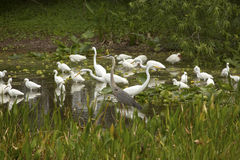 Group of white egrets wading in a swamp in Florida. Royalty Free Stock Image