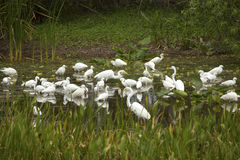 Group of white egrets wading in a swamp in Florida. Stock Image
