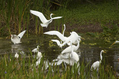 Group of white egrets wading in a swamp in Florida. Stock Images