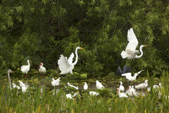 Group of white egrets wading in a swamp in Florida. Great egrets, Ardea alba, displaying and taking flight with wings dramatically outspread in a swamp at Stock Image