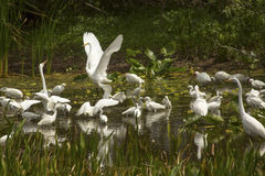 Group of white egrets wading in a swamp in Florida. Royalty Free Stock Photos