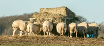 A group of white English sheep in a field eating Royalty Free Stock Images