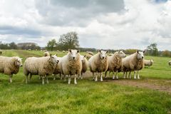 A group of white English sheep in a field Stock Images