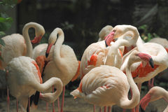 Group of white flamingos in the park Stock Photography