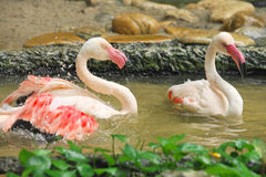 Group of white flamingos in the park Stock Images
