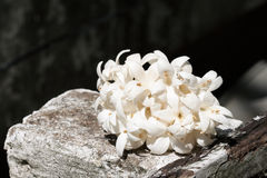 Group of white flower (Indian cork tree). Royalty Free Stock Image