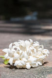 Group of white flower (Indian cork tree). Royalty Free Stock Photo