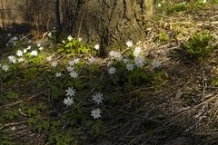 Forest snowdrops Anemone uralensis royalty free stock image