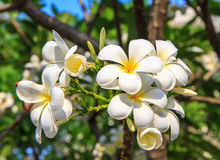 White frangipani Royalty Free Stock Photo