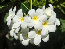 Group of white frangipanis or plumeria flowers. White and yellow colors of plumeria flowers Royalty Free Stock Photo