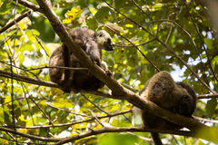 Group of White-fronted Lemur, Eulemur albifrons, resting on a tree, the national park Nosi Mangabe, Madagascar Royalty Free Stock Image