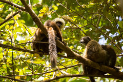Group of White-fronted Lemur, Eulemur albifrons, resting on a tree, the national park Nosi Mangabe, Madagascar Royalty Free Stock Images