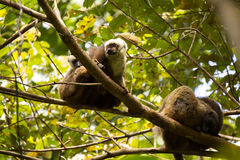 Group of White-fronted Lemur, Eulemur albifrons, resting on a tree, the national park Nosi Mangabe, Madagascar Stock Photos