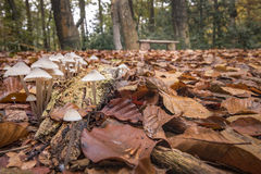 Group of white fungus foreground and bench in autumn forest back. Early morning walk rewarding me with this beautiful autumn scenery stock photo